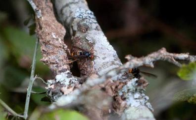 Las 20 picaduras de avispas asiáticas que mataron a Ángel