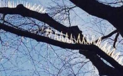 Ponen pinchos en los árboles para que los pájaros no ensucien los coches de lujo