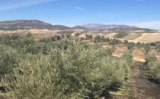 La campaña de recogida de aceituna está ya al 50% en la provincia de Jaén