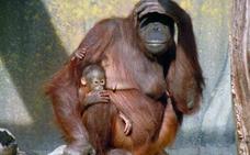 El brutal asesinato de un orangután en peligro de extinción