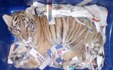 Hallan un cachorro de tigre en una caja de envío urgente en correos