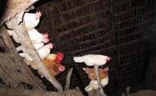 Condenado a casi un año de prisión por matar a cuatro gallinas y haber sustraído otras dos aves