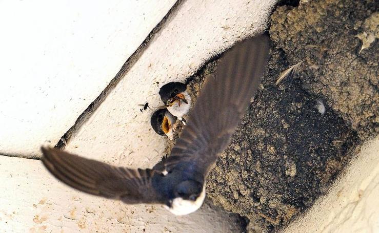 #MesdelosNidos: la campaña para no derribar los nidos de las golondrinas