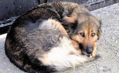 La nueva vida de Linda, la perra que no se despegó durante 10 días del cementerio de Albuñuelas