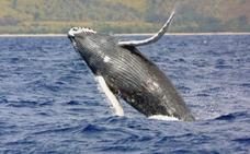 Las ballenas boreales son los «músicos de jazz» del océano
