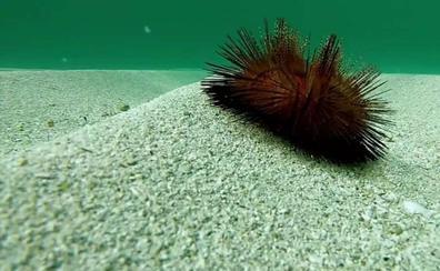 Cómo el calentamiento global afecta a los erizos de mar