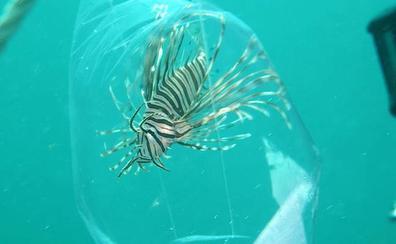 Alertan contra el animal que amenaza con invadir el Mediterráneo