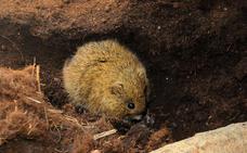 Microtus cabrerae, un topillo al borde de la extinción