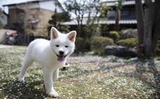 El akita, el perro japonés que conquista los corazones extranjeros
