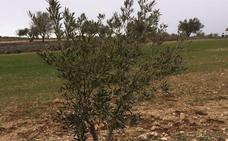 La cepa de Xylella del olivo de Madrid, de las menos virulentas