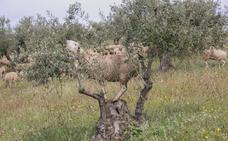 La Alhambra recupera la actividad del pastoreo en la zona del olivar de la Dehesa del Generalife