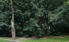 Muere una chica de 20 años tras comer hojas de tejo