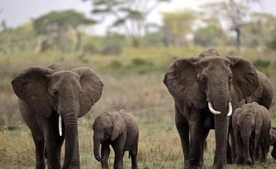 Tenemos que comprender a los elefantes para salvarlos de la muerte