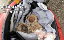 Intervenidas 13 crías de fringílidas en sus nidos en la A-1100 en Tabernas