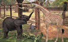 La conmovedora historia de la elefanta y la jirafa huérfanas que crecen como hermanas