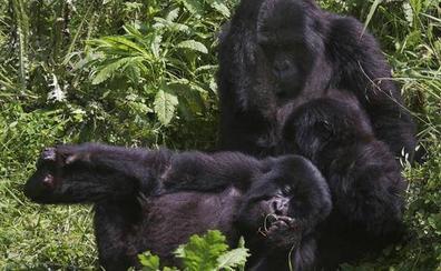La próspera evolución de los gorilas de montaña