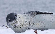 Conoce más acerca de la temible foca leopardo de la Antártida
