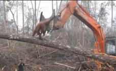 El desgarrador vídeo de un orangután tratando de frenar a la excavadora que destruye su hábitat