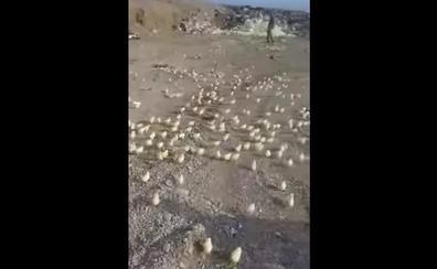 La invasión más «cuqui»: el milagro de los cientos de pollitos que 'se apropian' de una ciudad