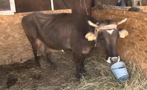 De Bulgaria a Serbia: la vaca por la que se movilizó hasta Paul McCartney salva la vida