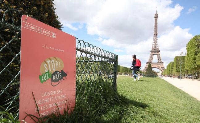 «Es un problema de salud pública»: la plaga de ratas que asola París