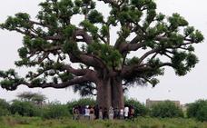 Comienzan a morir algunos de los árboles más viejos del planeta