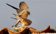 El halcón nazarí vuela sobre las estepas