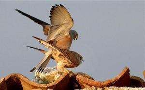Cernícalo primilla, el halcón nazarí vuela sobre las estepas