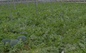 El precio de la sandía para el agricultor cae un 82% en junio