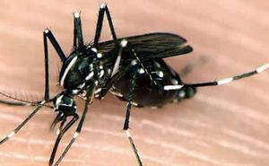 El molesto y agresivo mosquito tigre que ya ataca en Granada