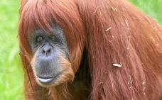 Muere el orangután más viejo del mundo a una edad nunca vista