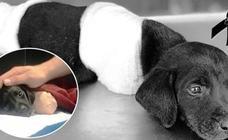 La terrible historia del perro al que amputaron las 4 patas: un símbolo contra el maltrato