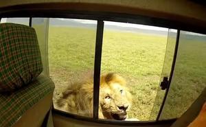 «El turista más estúpido del mundo»: acaricia un león y se arrepiente al instante