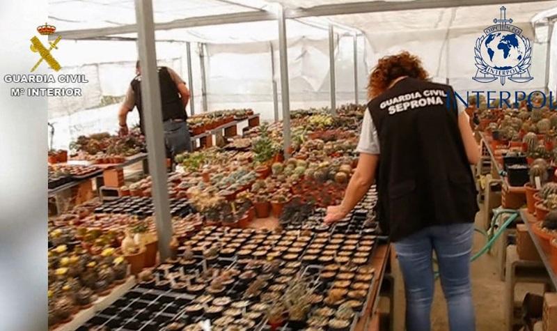 Descubren en Almería 3.800 cactus protegidos en una redada contra el tráfico de especies