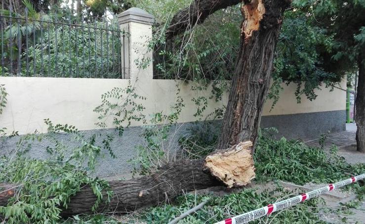 Los daños ocasionados por la caída de un árbol podrido en la plaza de Santo Domingo de Granada