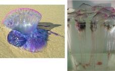 ¿Qué medusas hay en España? ¿Cuáles son las peligrosas que pican y por qué aparecen a mansalva?