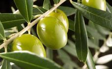 Descubre los 7 tipos de aceitunas más habituales en España