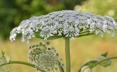 Alertan de la planta perejil que te puede dejar ciego si la tocas