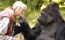 La triste muerte de Koko, la única gorila capaz de 'hablar' a través del lenguaje de signos