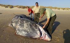 Insólita imagen en Doñana: aparece un tiburón de 9 metros muerto en una de sus playas