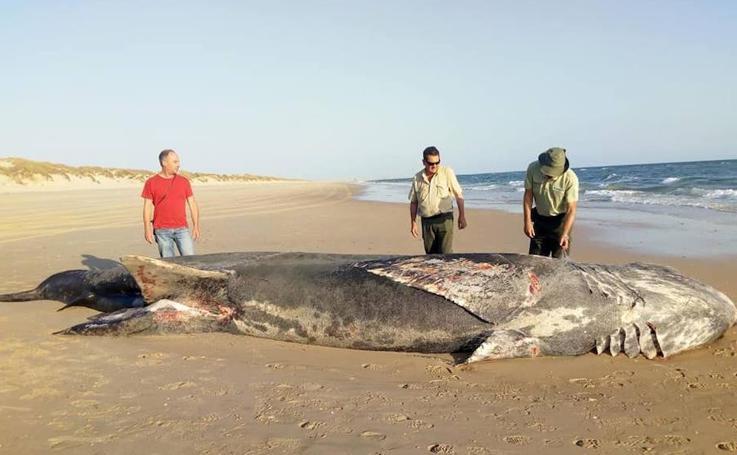 Las impactantes fotos del tiburón hallado muerto en Doñana