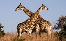 Animales LGTB: 15 especies cuyos miembros presentan conductas homosexuales