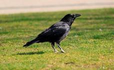 Los cuervos exhiben unos inauditos patrones de memoria