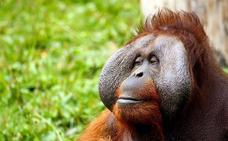 El ser humano ha condicionado la evolución del orangután