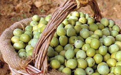 Se enfrentan a un año y medio de cárcel por robar cerca de 9.000 kilos de aceituna