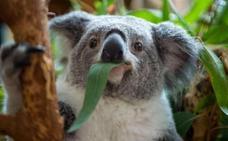 Las curiosidades que oculta el código genético de los koalas