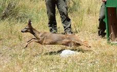 Liberan un nuevo ejemplar de corzo en el Parque Natural de la Sierra de Huétor