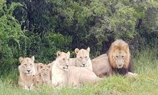 Una manada de leones devoran a tres cazadores que querían matar rinocerontes