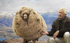 La oveja rebelde que estuvo 6 años escondida para que no la esquilaran