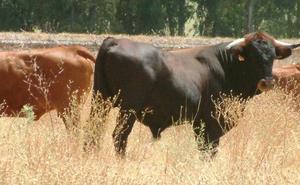 Impulsan la promoción de la vaca pajuna, una raza andaluza en peligro de extinción